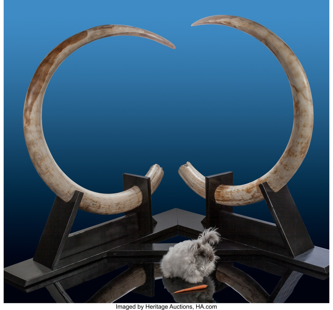 Pair of Woolly Mammoth Tusks. Mammuthus primigenius. Pleistocene. Alaska...